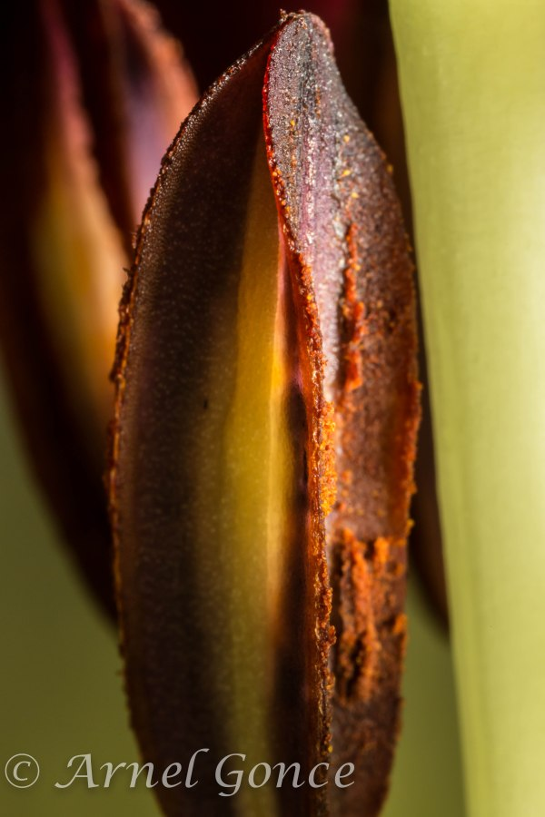 Stamen on Day Lily